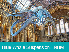 Blue Whale Suspension at The Natural History Museum